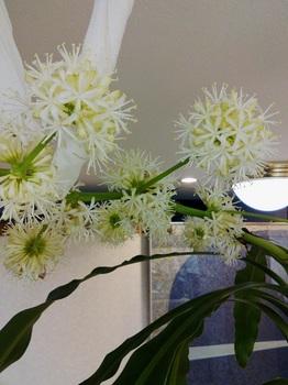 ドラセナの花1.jpg