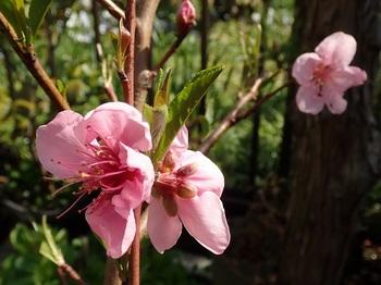 ネクタリンの花.jpg