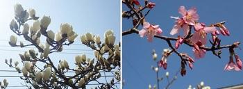 モクレンとオカメ桜.jpg