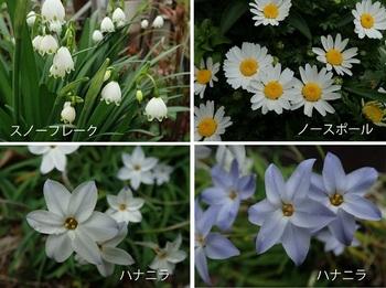 今咲いている花(スノーフレーク・ノースポール他).jpg