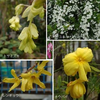 今咲いている花(トサミズキ・レンギョウ他).jpg