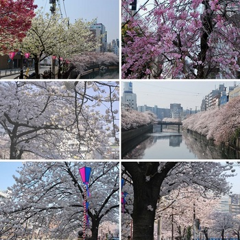 大岡川の桜.jpg