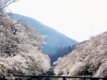 山北の桜3.jpg