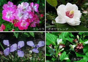 庭の花ミニバラ他.jpg