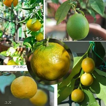 柑橘類.jpg