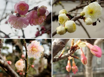梅紅白・河津桜の蕾.jpg