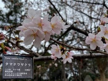 玉縄桜.jpg