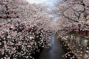 目黒川桜1.jpg