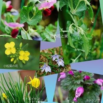 豆苗の花と実他.jpg