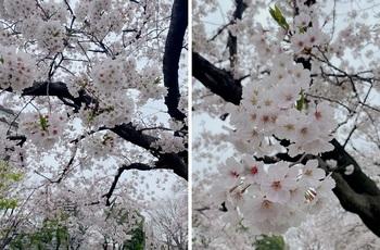近所の公園の桜1.jpg